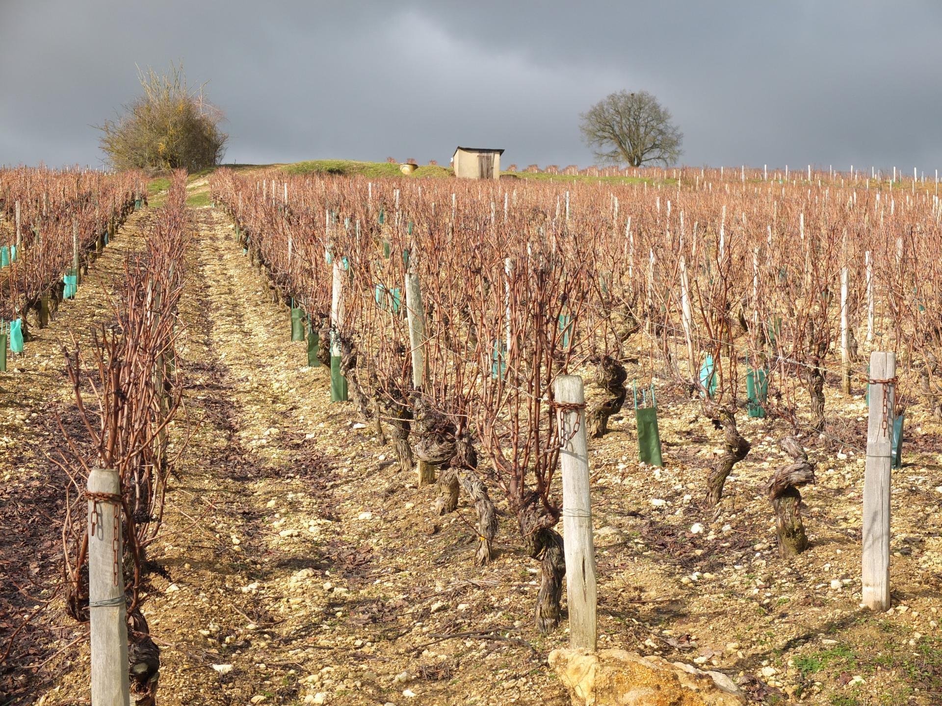 Nous aurons du vin doré comme les vignes