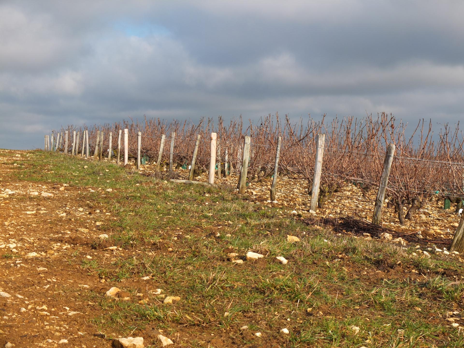 Ils avaient planté des vignes jusqu'au sommet de la colline