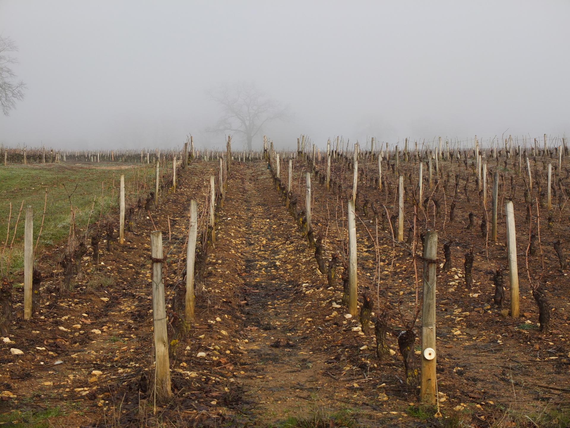 Les vignes, elles courent sur les coteaux